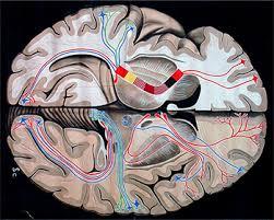 il-cervello-e-i-danni-neuro-cognitivi